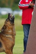 German shepherd with sharp teeth
