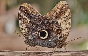 owl butterfly caligo