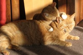 Two ginger cats are playing