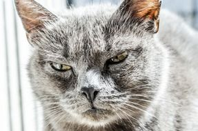 angry gray cat