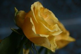 yellow rose is reflected in the mirror