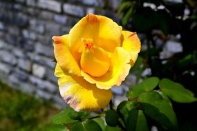 Yellow rose in the green garden