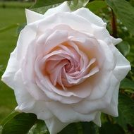 white rose with a pink center