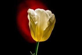 Tulip in the glare of light on a dark background