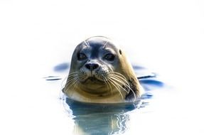 head of grey seal above water