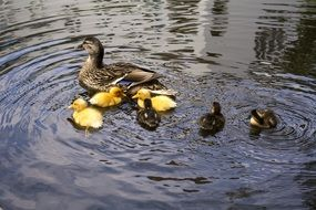 Duck family on pond