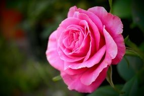 gentle rose flower