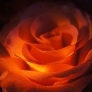 macro photo of orange rose