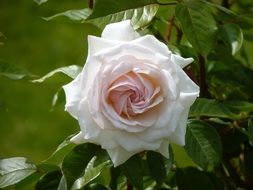 White lush rose on a bush