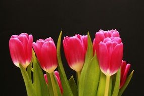 Bouquet of pink tulips on a black background