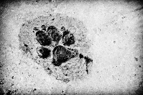 black and white photo of a wolf track on cement