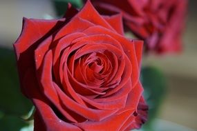 tender red rose close-up