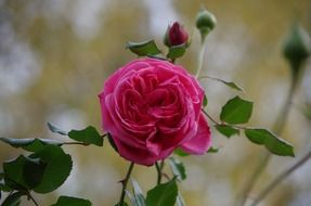 pink rose, flower and buds