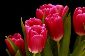 pink tulips ornamental flower