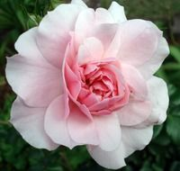 Light pink rose closeup