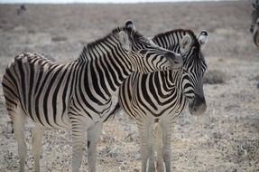 two zebras in the wild in the dry season
