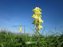 Linaria Vulgaris flowers on the field