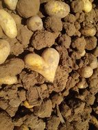 heart-shaped potatoes in the garden