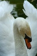 swan is a symbol of love