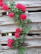 red roses on old wooden fence close-up