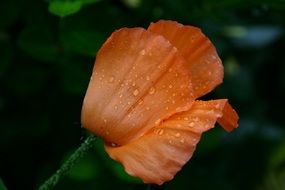 poppy in dew drops