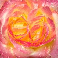 wet yellow pink rose