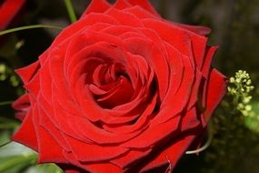 perfect red rose blossom