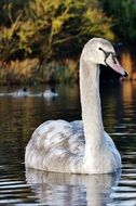strikingly beautiful swan bird