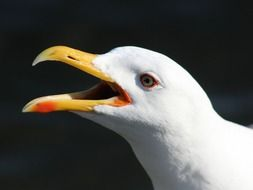 backed gull