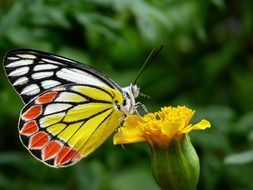 colorful tricolor butterfly on flower