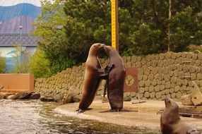 sea lions couple in love