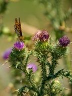 butterfly sitting on a thistle