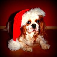 little dog in a red Christmas hat