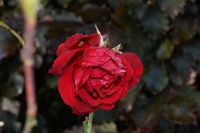 faded red rose