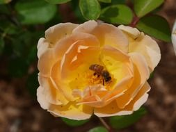 bee collects pollen from the roses