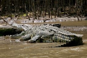 crocodile lies in a swamp in africa