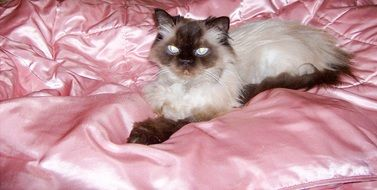 himalayan persian cat lying on a bed
