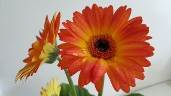 orange gerbera in a vase on the table