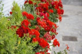 Red flowers with green plant along pedestrian