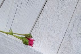 Pink rose grey wooden wall aback