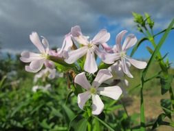 pretty saponaria officinalis