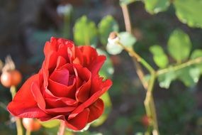 rose red bloom macro photo