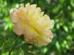 yellow rose at green blurred background