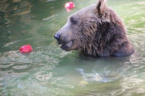 bear in water with flower