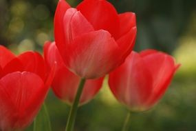 red tulips on a blurry background
