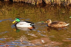 ducks couple in nature
