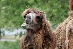 chewing camel at the zoo