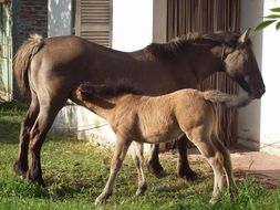 foal drinking milk from a donkey
