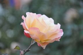 Pale pink rose on a blurred background