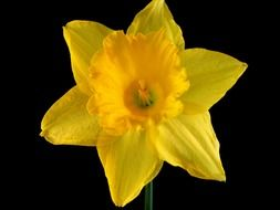 daffodil flower on a black background